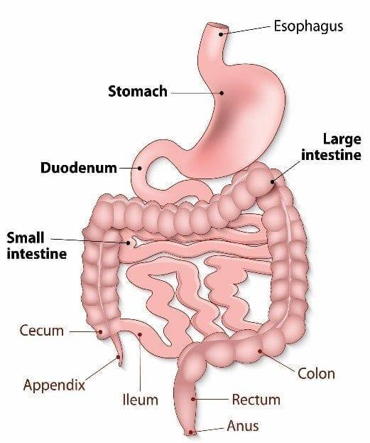 gastrointestinal-anatomy